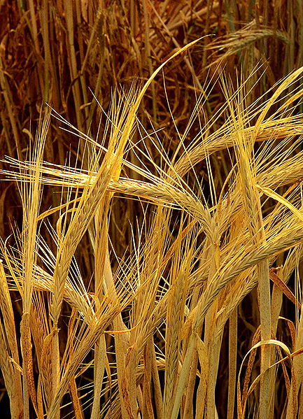 Hordeum-Barley-Flour-Bread