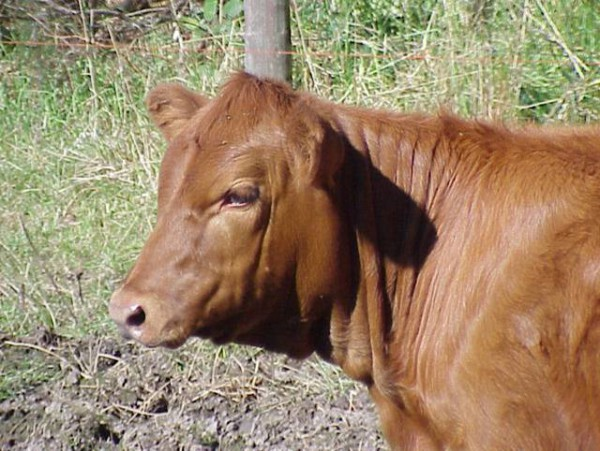red heifer-young-female cow
