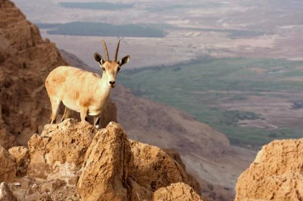 Mount Nebo-Dead Sea-Ibex-deer