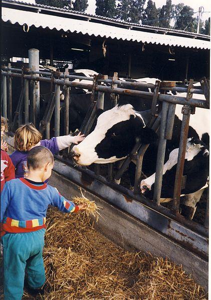children-feed-cows-farm