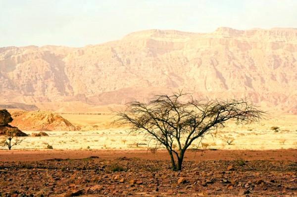 Timna-Park-Acacia