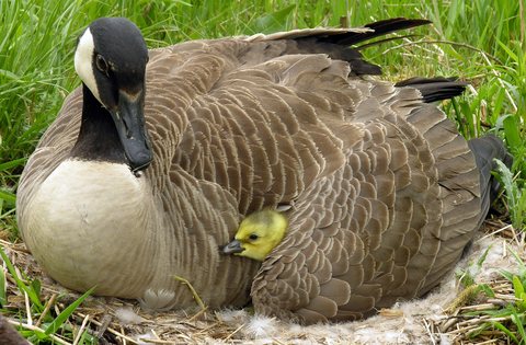 mother goose-chick