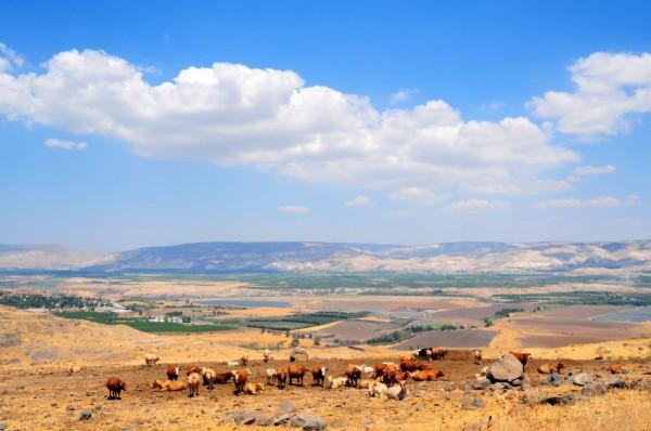 A herd of cows-Sea of Galilee