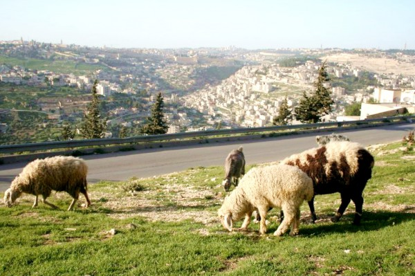 Sheep-goat-Jerusalem-Israel-pasture