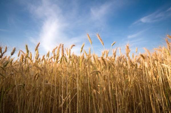 Wheat-sky