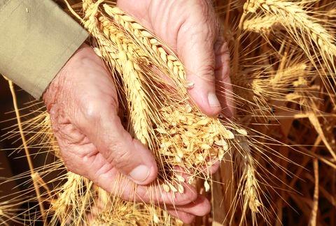 Handful-wheat