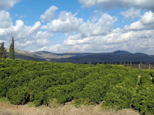 Galilee-Israeli-lemon-grove