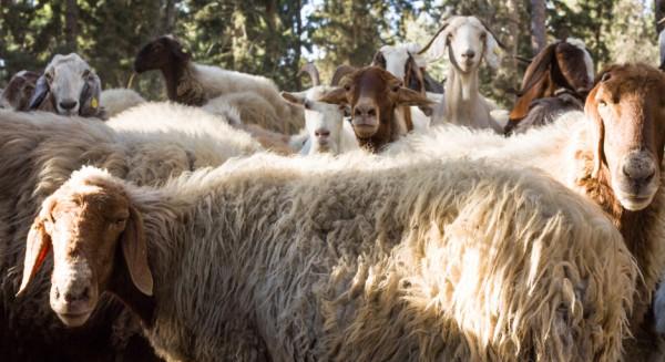 Herd-sheep-forest-Israeli