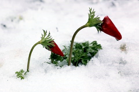 Red anemone-Snow-Israel