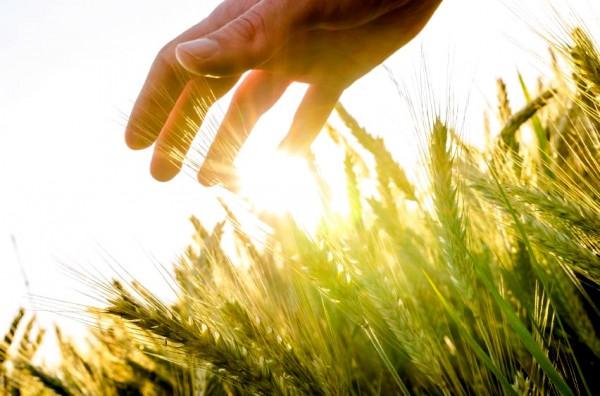 hand-wheat-field