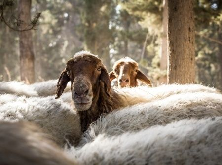 sheep-Israel-peace-offering