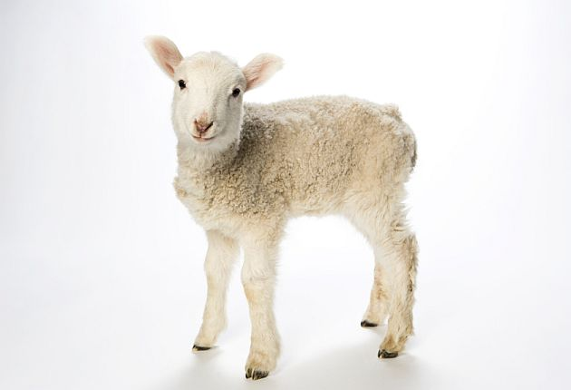White lamb.