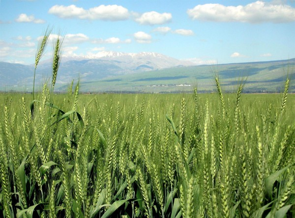Wheat-haHula-ISRAEL
