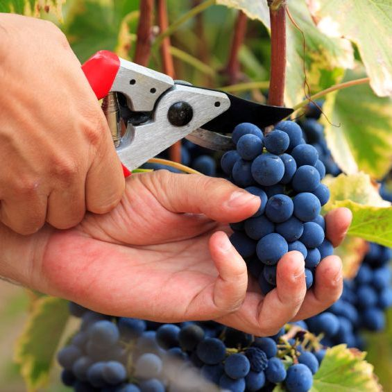 bearing-fruit-Grapes-vineyard