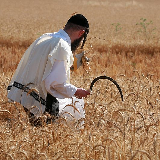 Hand-Harvesting-Wheat-Israel