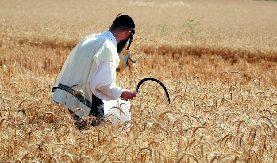 Hand-harvesting-wheat-Passover-Israel