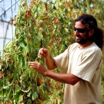 A farm hand in Israel maintains greenhouse legumes.