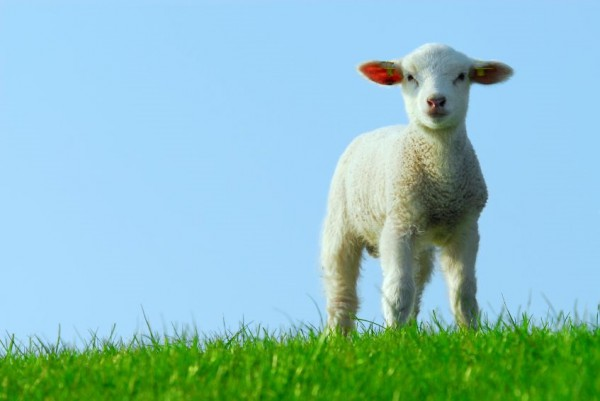 A white lamb stands on green grass Under a perfectly blue sky.