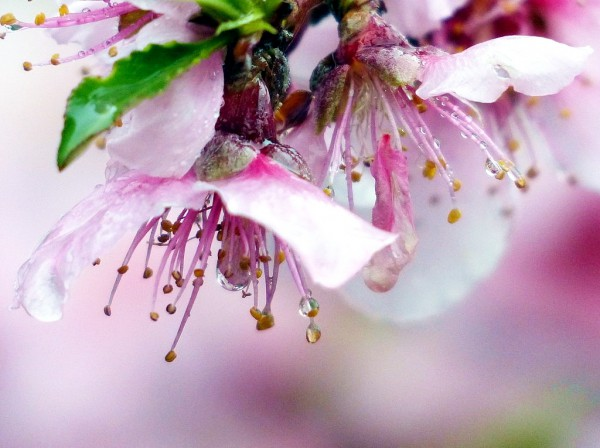 Rain-soaked-Peach blossoms