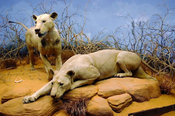 Lions of Tsavo Chicago Field Museum Col Patterson