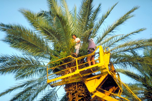 Harvesting dates at Ein Gedi, a desert oasis that is west of the Dead Sea in Israel.