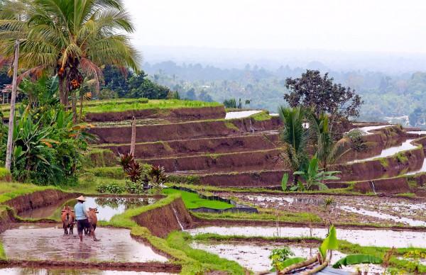 Balinese rice paddy