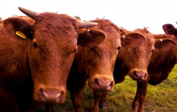 Red cows (Photo by James Martin)