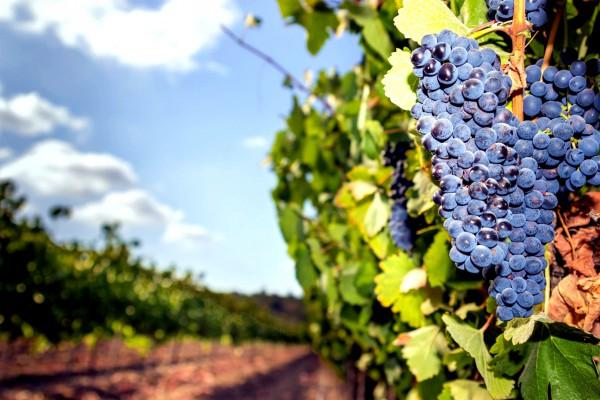 Israeli grapes