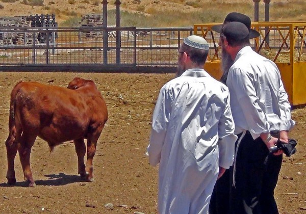 A Kohen and men from the Temple Institute have a look at Israeli cattle. (Temple Institute Facebook photo)