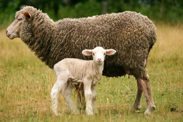 lamb-ewe-sheep
