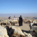 Israel-sheep-shepherd-flock