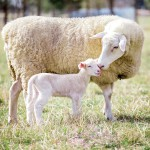 """""""God will provide for Himself the lamb for the burnt offering, my son.""""  (Genesis 22:8)"""