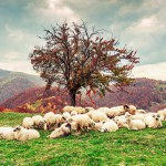 sheep grazing, beautiful hill,