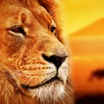 Lion portrait on savanna background and Mount Kilimanjaro at sun