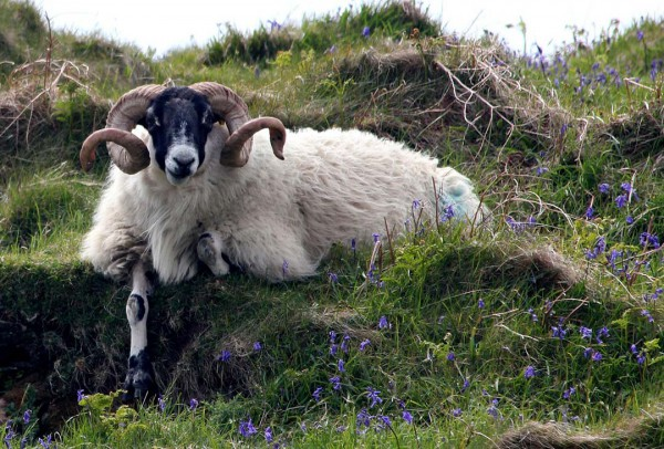 Mammal Sheep Ram Bluebell Nature Agriculture