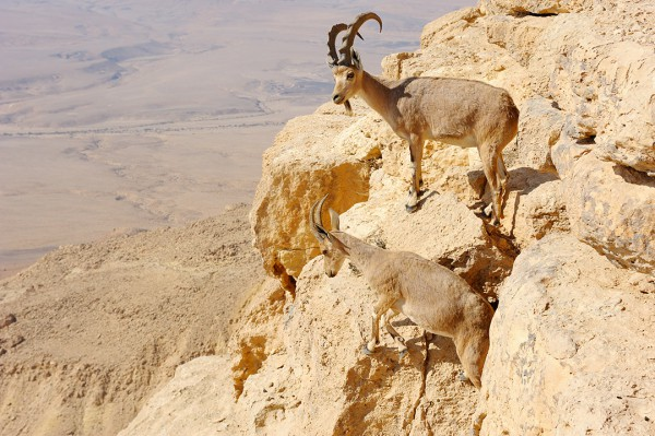 Mountain goats at Ramon Makhtesh Nature Preserve