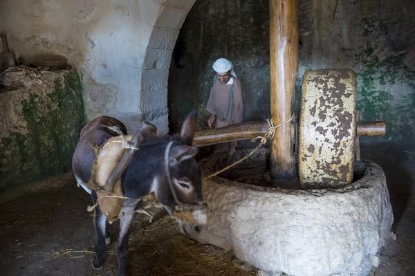donkey, yoke, oil press, Nazareth village