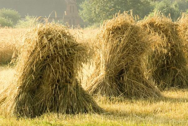 sheaves of rye