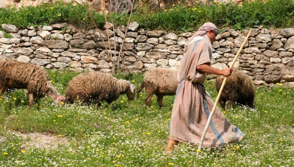 Shepherd, tending sheep