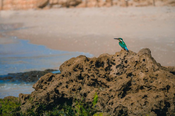 """This kingfisher bird on a rock in Israel is a common picture in Eurasia and Africa.  Perhaps Yeshua was pointing to a similar bird when He said, """"Look at the birds.  They don't plant or harvest or store food in barns, for your heavenly Father feeds them.  And aren't you far more valuable to Him than they are?""""  (Matthew 6:26)"""