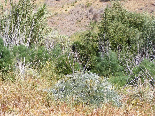 A wild olive tree is growing among fennel, artichoke thistle, and bamboo.