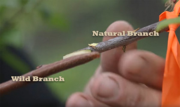 """In tree grafting, a """"wild"""" branch from one tree is spliced, inserted into or strapped to a natural branch of another tree."""
