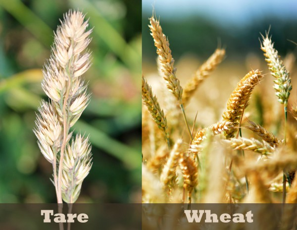 Tares are poisonous weeds called darnel that look very similar to wheat.