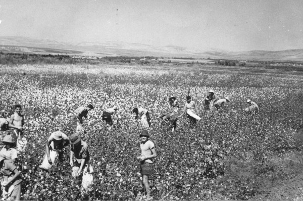 Women and men work alongside each other in the cotton fields of Kibbutz Shamir, on the western slopes of the Golan Heights in northern Israel.