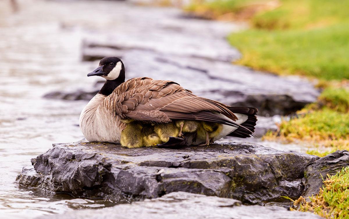 """Under His Wings"", ducklings take refuge under mother duck wings"